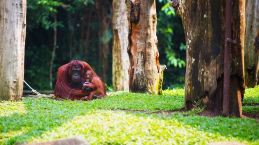 Singapore Zoo - the gold standard of zoological gardens.