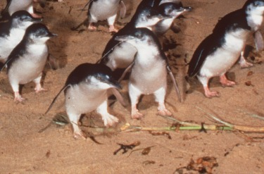 Phillip Island, VIC: Everyone knows the nightly penguin parade is a crowded circus, but that doesn't stop it being ...