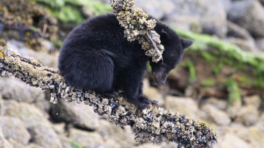 A black bear inspects the foreshore.