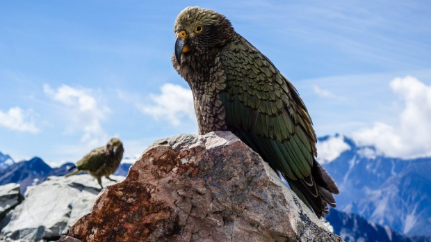 New Zealand's bird of the year: The kea.
