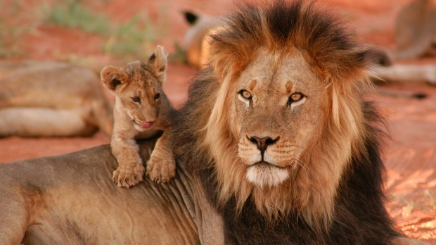 A black-maned lion and cub in Kgalagadi Transfrontier Park.
