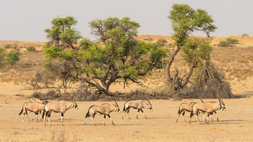 A herd of gemsbok in the dry Auob river bed in Kgalagadi Transfrontier Park.