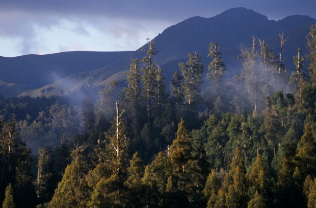 Trees get big - really big - in Tasmania. Its swamp gums are among the tallest trees in the world, with the loftiest ...