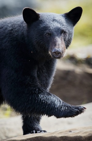 A black bear on Vancouver Island.