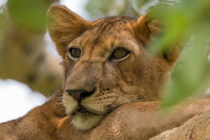 A lioness at rest.