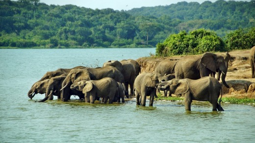 Elephants in Queen Elizabeth National Park.