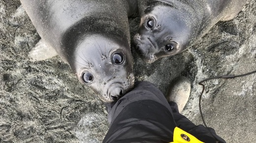 Weaner southern elephant seals, on the hunt for a warm-milk meal.