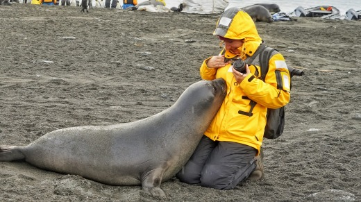 A weaner elephant seal - anywhere up to 180 kilograms at a month old and 44 kilograms at birth - rests its head in the ...