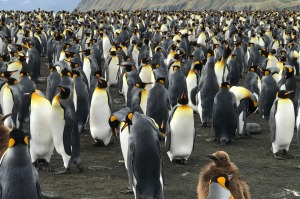 King penguins stretch as far as the eye can see at Gold Harbour.