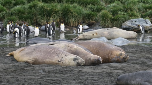 Eventually, those gorgeous elephant seal pups will look like this.