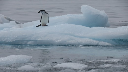 A lonely chinstrap penguin takes a break.