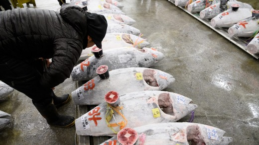 A buyer inspects tuna at Tsukiji market. Tourists would queue from 3am to be among the few visitors to get to see the ...
