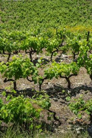 Vineyards in the Douro Valley wine-producing region, Portugal.