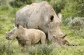White rhino mother and baby at Shamwari Game Reserve. Not the same pair seen by the author, but just as picture perfect.