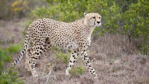 A cheetah at the reserve is alert to the presence of a photographer.