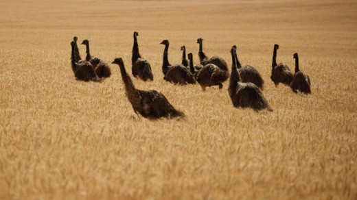 A mob of emus in the South Australian countryside.