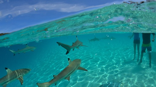Black-tip reef sharks pass close in the Moorea Lagoon.