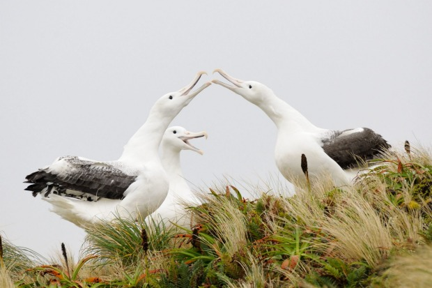 1. ROYAL ALBATROSS SANCTUARY The clearing of the northern tip of Dunedin's Otago Peninsula for military purposes during ...