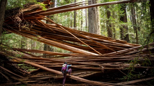 A visitor climbs over a fallen redwood in California's Humboldt Redwoods State Park.