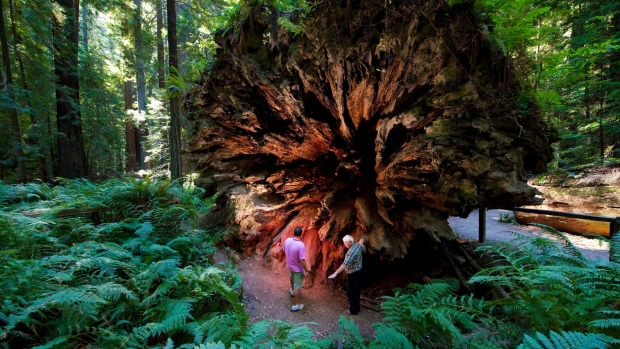Dwarfed by the diameter of a fallen redwood, Humboldt Redwoods State Park.