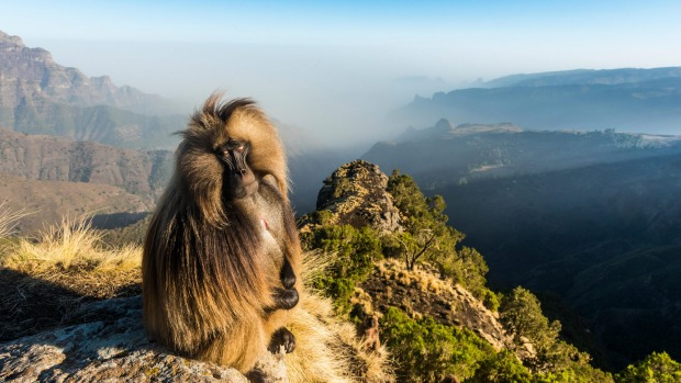Male Gelada sitting on a cliff, Simien Mountains National Park.