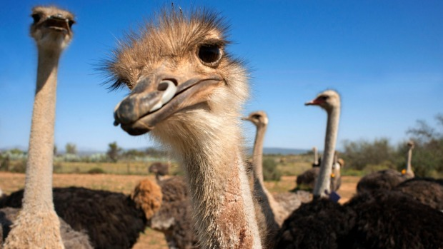 Ostriches on a safari show farm at Oudtshoorn, Little Karoo, South Africa.