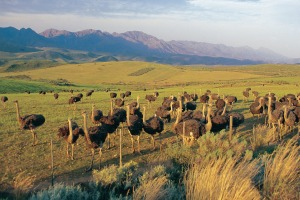 A large flock of immature ostriches on an ostrich farm in Little Karoo, South Africa.