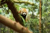 A red panda on a river safari at Singapore Zoo.