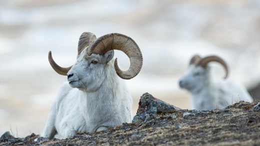 Dall sheep rams (Ovis dalli) lie on the rocky slopes in the mountains in Kluane National Park in the Yukon in Canada.