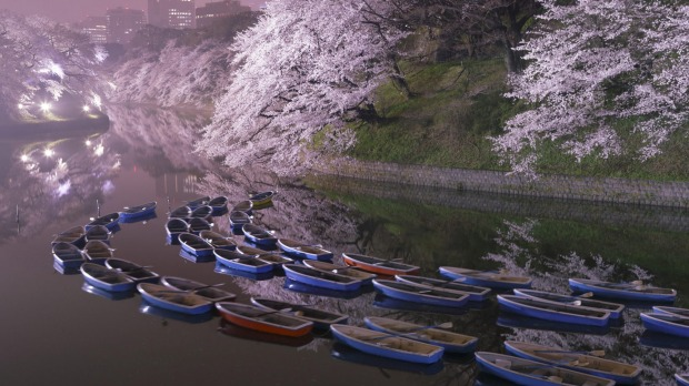 Fishing boats as the cherry blossoms bloom.