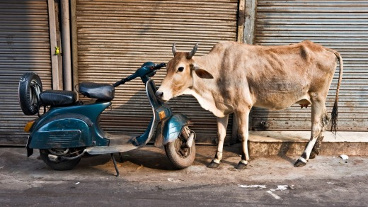 A Cow and scooter, Paharganj.