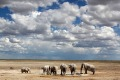 Elephants at waterhole at Etosha National Park.