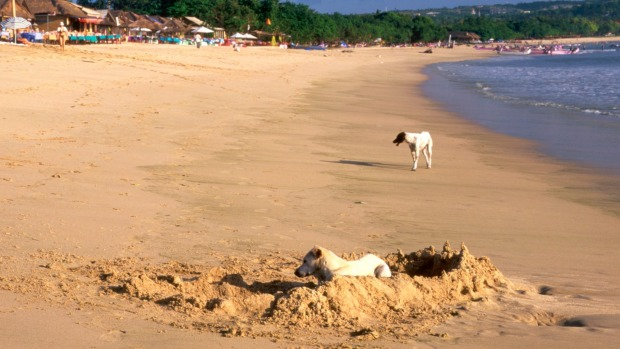 Dogs on the beach in Bali. Getting bitten by a dog in Asia is much more dangerous than in Australia.