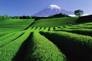 The tea plantations of Shizuoka.