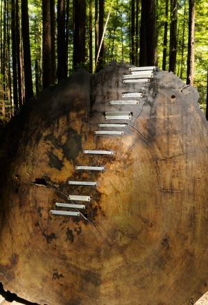 A cross section of  a 1000 year old coastal redwood tree shows dates from 948 to 1908. Armstrong Redwoods State Natural ...