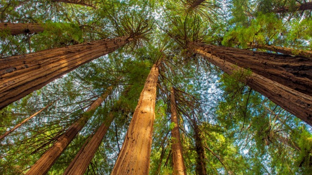 Tall timbers in Muir Woods National Monument, Marin County, California.