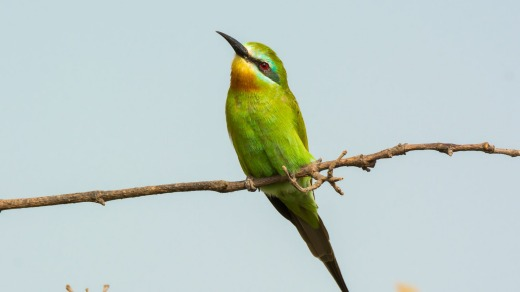 Blue-cheeked-beeeater.