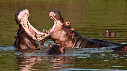 Hippo fight in the Ruaha River.