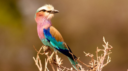 Lilac Breasted Roller posing on branch on safari.
