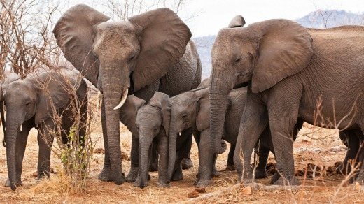 African Elephants in Ruaha National Park, Tanzania.