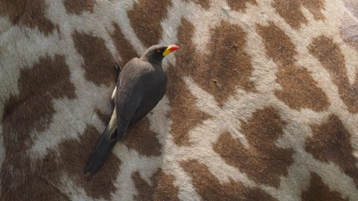 Yellow billed oxpecker feeds on parasites on a Masai Giraffe.