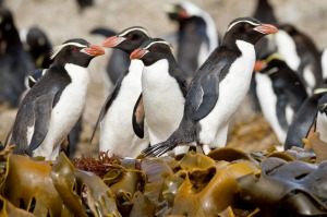 Crested penguins at The Snares, Sub-Antarctic Islands, New Zealand