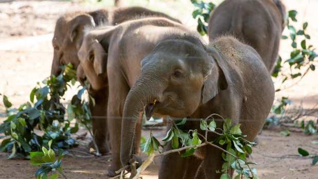 Asian elephants being fed, Udawalawe Elephant Transit Home, Sri Lanka.