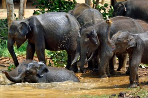 Bath time at Sri Lanka's Elephant Transit Home