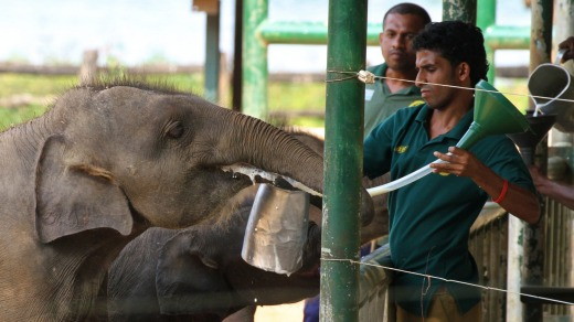 Orphaned elephants being feed with milk at the Udawalawe Elephant Transit Home & Information Centre, Udawalawe, Sri Lanka.