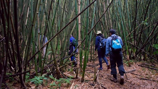 Tourists climb the bamboo forest slopes of Virunga Mountain to trek and see the mountain gorillas.