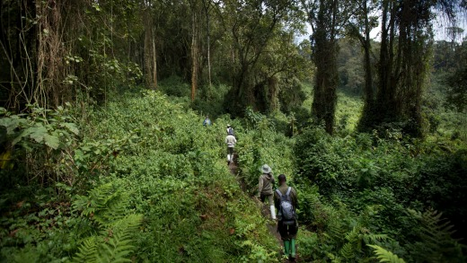Dense vegetation in Volcanoes National Park, northern Rwanda.