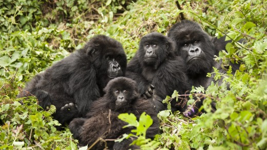 The Amahoro group in Volcanoes National Park, Rwanda.
