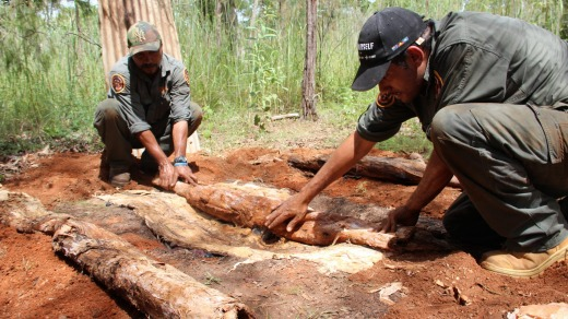 Ranger Fred Hunter uses paperbark to cook buffalo shoulder in a traditional underground oven.