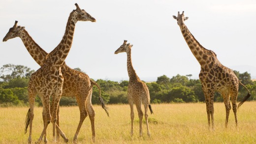 Giraffe are among the many creatures you can see in Kenya's Maasai Mara.